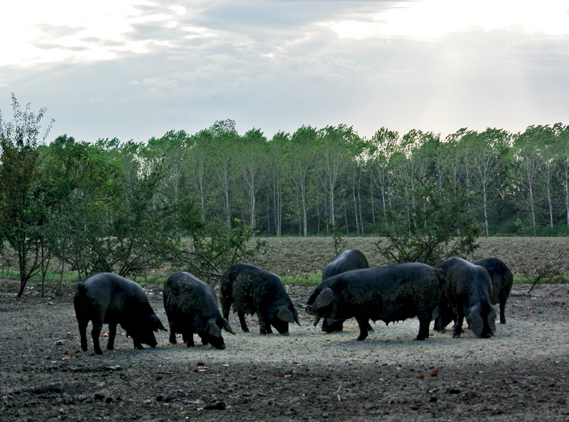 Spigaroli's free-range pigs feed on acorns and wild grass, among other food items